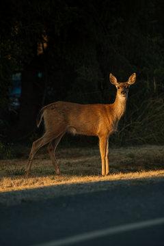 Deer looking towards camera.