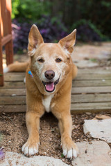 Portrait of mixed breed DIngo dog outside