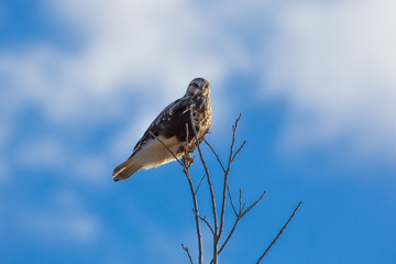 Rough Legged Hawk in Missouri