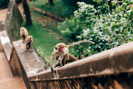 Small Monkeys Sitting On a Ledge in Sri Lanka