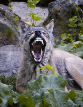 Wolf with mouth open