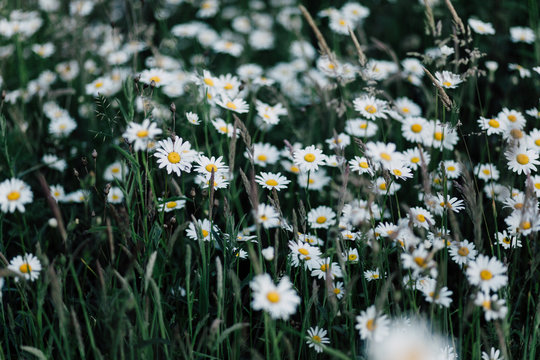 Large wild daisies