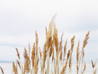 Wheat colored plants in Salt Lake