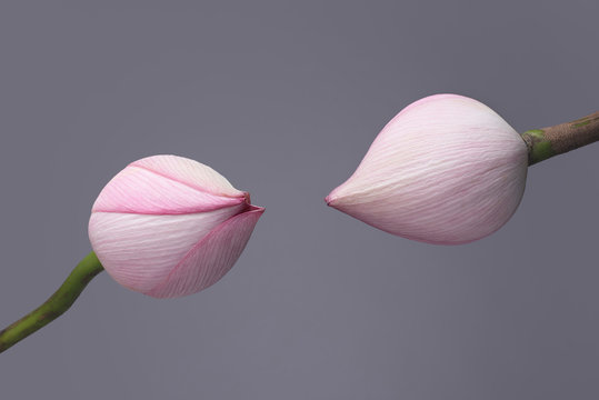 Close up of magnolia flower buds