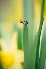 Tini bug on top of leaf with blurry daffodil on background