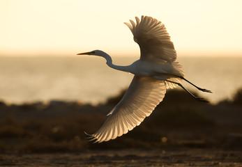 The western reef heron white morphed flying, a back lit image taken in morning, Bahrain