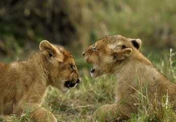 Lion cubs playing at Masai Mara in the evening hours, Kenya Wall mural