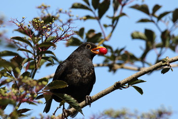 Male blackbird bringing a red cherry fruit to feed to his youngsters