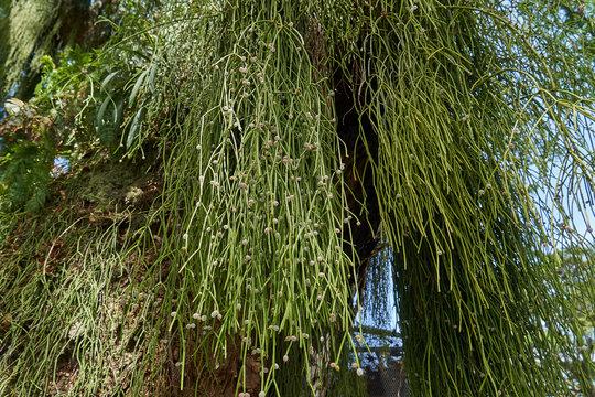 Rhipsalis baccifera (mistletoe cactus) on a large tree in the tropical rain forest of Guyana, South America