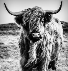 Aluminium Prints Highland Cow B&W