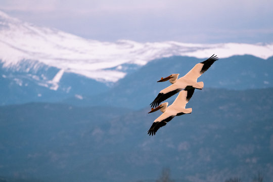 pair of Pelicans flying with Long's Peak in the distance