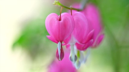 Fotoväggar - Dicentra flower heart shaped flowers. Pink bleeding heart flowers bouquet background. Purple broken hearts flowers growing in spring garden. Slow motion. 3840X2160 4K UHD video footage