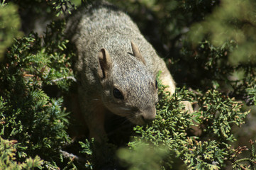 Gray Squirrel running on the bright green branches of a pine tree in Los Angeles, California. Found along the western coast of the United States and Mexico.