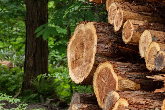 伐採された杉 木材 イメージ