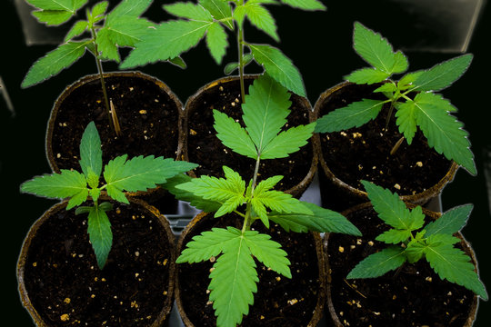 Young Cannabis Plants - also known as Marijuana. Glowing Filter