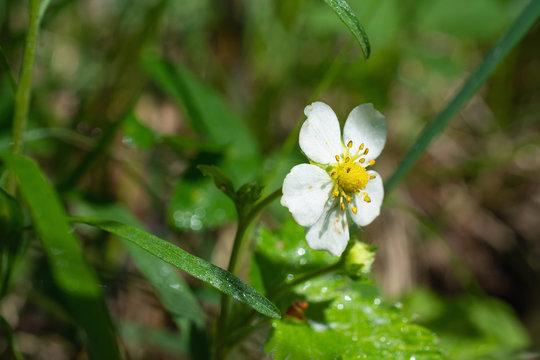 Wild Strawberry in Blossom