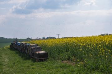 Bienenstöcke am Rand eines gelben Rapsfeld im Frühling. Unzählige Bienen fliegen in der Luft herum. Die insekten sammeln Honig. Der Himmel ist leicht bewölkt.
