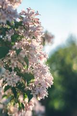 Rosa weiße Blüten an einem Strauch im Frühling. Die Abendsonne taucht das Blattwer in schöne warme Farben. Im Hintergrund der Himmel und Bäume in einem cremigen Bokeh.
