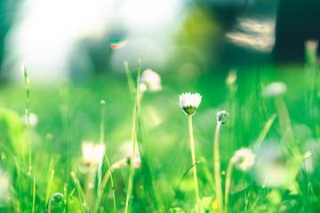 Eine Gänseblume auf einer Wiese im Frühjahr. Umrahmt von einem Bokeh aus saftigen Grün.