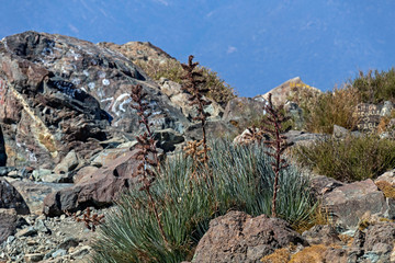Mountain vegetation with aloe and cactus, flora of La Campana National park in central Chile, South America