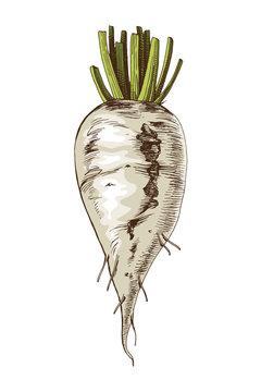 Hand drawn sugar beet