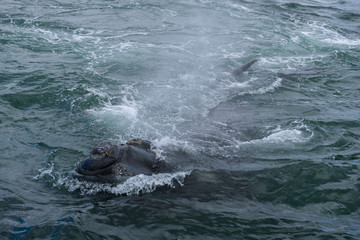 Southern Right Whale surfacing to take a breath in the Indian Ocean near Hermanus, South Africa