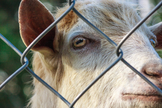 goat behind bars. farm breeders. animal abuse concept