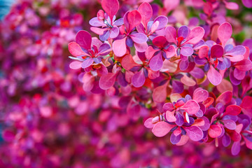 barberry bush with small pink leaves in the garden. lilac plant background