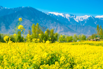 Fototapeten Gelb Mustard field with Beautiful snow covered mountains landscape Kashmir state, India