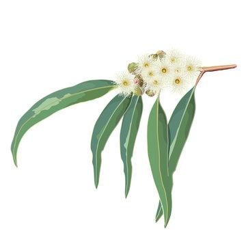 Cream Eucalyptus Gum Tree Flowers Vector Illustration on a White Background