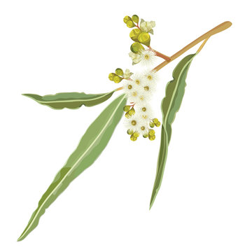 Realistic creamy white Australian Gumtree Flowering Eucalyptus Flowers Vector Illustration on a white background