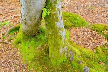 Ineinander verwachsene Baumstämme