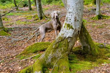 Weimaraner Jagdhund im Wald