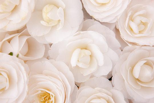Close-up of white camellia