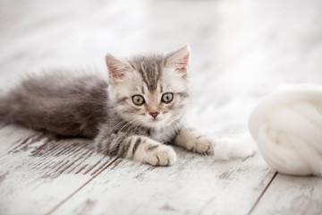 Curious gray kitten