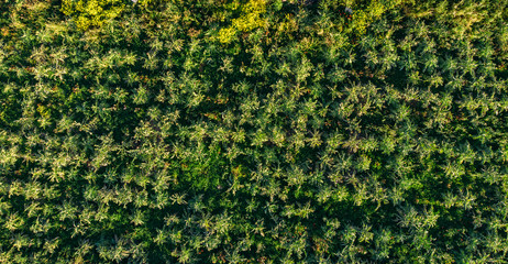 Arugula fields, grass and cannabis. Aerial top view