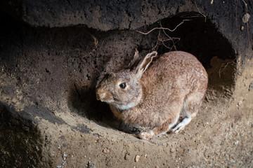 Wild rabbit in a burrow. Animal den