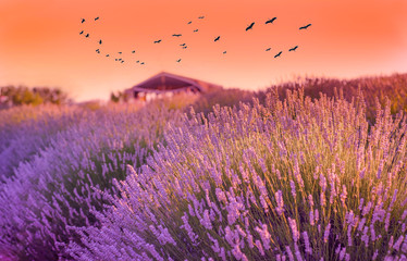 Lavender field in the sunset, hut/cottage in background and storks in the air in Kuyucak Village, Isparta, Turkey.