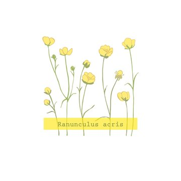 Ranunculus acris.Yellow wildflowers. Small blooming weed. Botanical illustration. Herb plant.