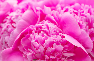 Fotoväggar - Beautiful pink peony bouquet background. Blooming peony flowers close-up. Valentine's Day concept
