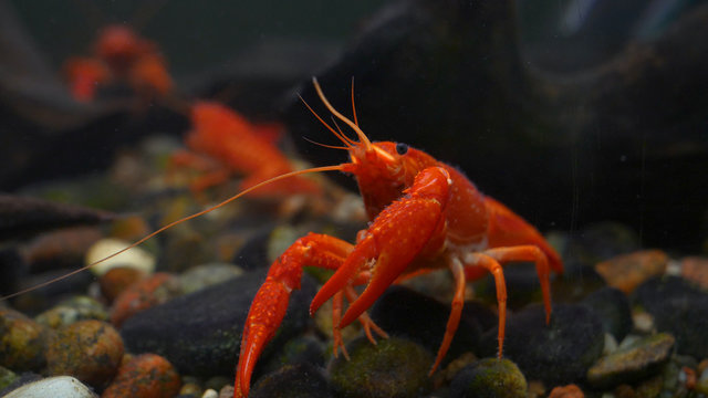 Lobster. Red, orange, brown and yellow lobster walking on rocks in the water, Lobster in water tank at an aquarium. Concept of: Water, Rocks, Family.