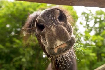 Neugierige Pferdenase