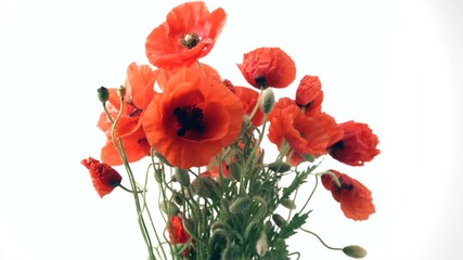 Fotoväggar - Beautiful red Poppy flowers opening closeup. Blooming Poppies bouquet closeup isolated on white background. Timelapse 4K UHD video footage. 3840X2160