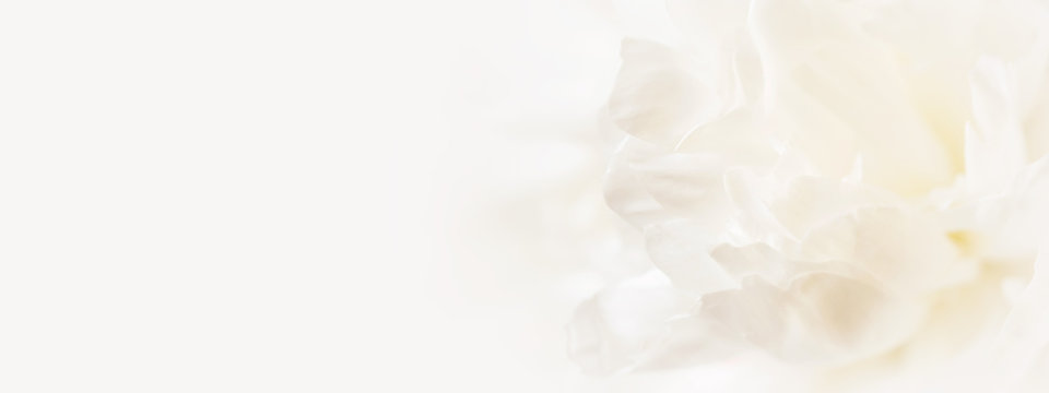 Closeup view of white peony flower. Soft pastel wedding background. Banner for website.