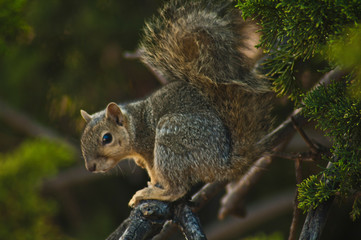 California Gray Squirrel sits on a branch evergreen pine tree