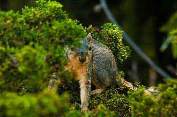 California Gray Squirrel looks at camera and hides behind an evergreen pine tree branch