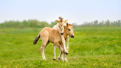 Fotobehang Paarden Two cute dun colored Konik foals playing, legs hang around the neck, they are part of a free-range herd of the Polish primitive horse breed live in nature reserve De Rug, Roosteren, Netherlands