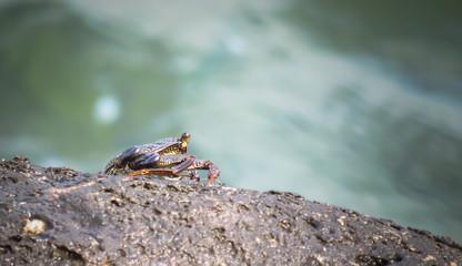 Thin shelled rock or grapsid crab, Grapsus Tenuicrustatus, sitting on top of a rock in the sea, Ahukini, Kauai, Hawaii, USA