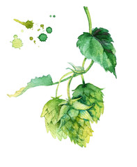 Watercolor illusration of hops vine isolated on white