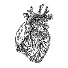 Human anatomy. Heart. Sketch. Engraving style. Vector illustration.